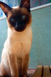 Sanka, chat Siamois