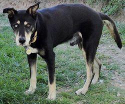 Sanka, chien
