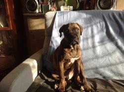 Sanka, chien Boxer