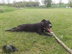 Sanka, chien American Staffordshire Terrier
