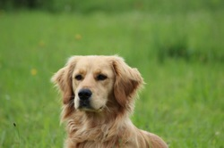 Sanka, chien Golden Retriever