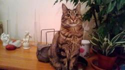 Sanka, chat Européen