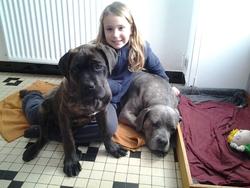 Sanka, chien Cane Corso