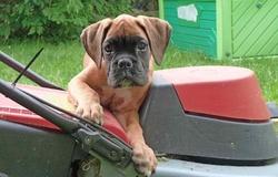 Sanka Rip Falcko, chien Boxer