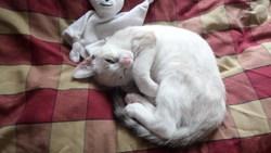 Sankia, chat Siamois