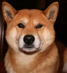 Sanoi, chien Shiba Inu
