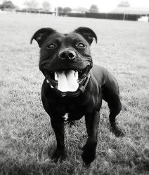 Sansa, chien Staffordshire Bull Terrier