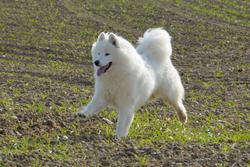 Sansa, chien Samoyède