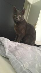 Saphir, chat Chartreux
