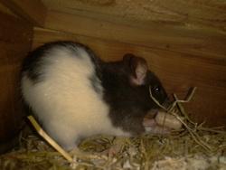 Saphir, rongeur Rat
