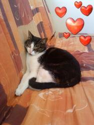 Saphir, chat Européen