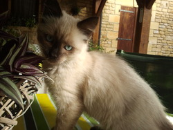 Saphir, chat Siamois