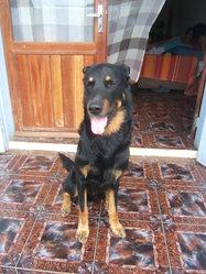 Saphir, chien Beauceron