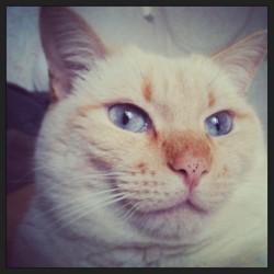 Saphir, chat Gouttière