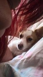 Saphir, chien Jack Russell Terrier