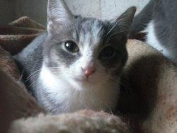 Saphira, chat Gouttière