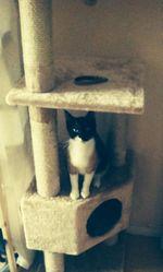Saphire, chat Gouttière