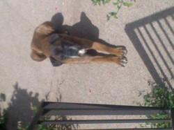 Saphran, chien Boxer