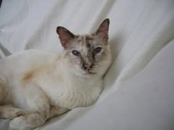 Saphyr, chat Siamois