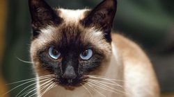 Sapphire, chat Siamois