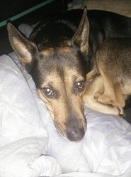 Sarah, chien Berger allemand