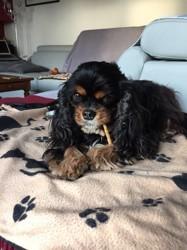Sarah, chien Cavalier King Charles Spaniel