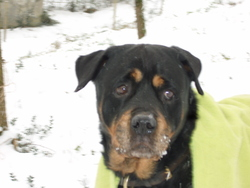 Shelley Au Paradis, chien Rottweiler