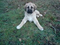 Saria Quia était Adopter , chien Berger d'Anatolie