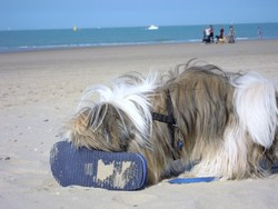 Sarko, chien Shih Tzu