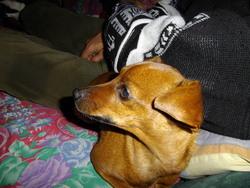 Sarzizi, chien Pinscher