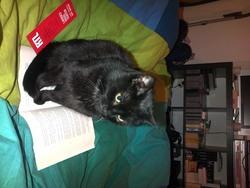Sasha, chat Européen