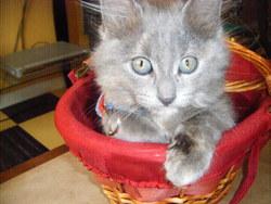 Sasha, chat Angora turc