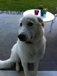 Sasha, chien Berger de Maremme et des Abruzzes
