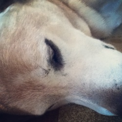 Sasha, chien Labrador Retriever