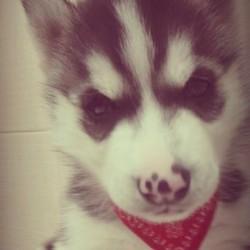 Sasha, chien Husky sibérien