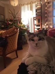Saskia, chat Européen