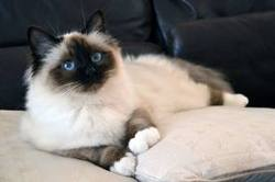 Sassie, chat Birman