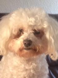 Sassy, chien Bichon à poil frisé