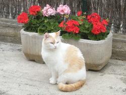 Sassy, chat Ragdoll