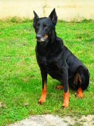 Sassy, chien Beauceron