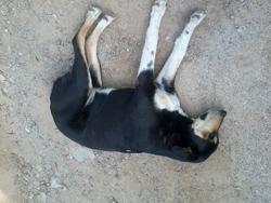 Satie, chien