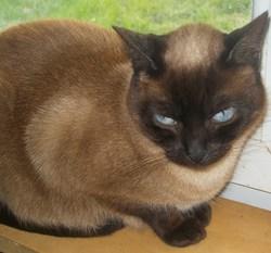 Satine, chat Siamois