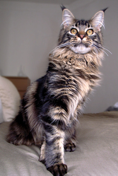 Satis, chat Maine Coon