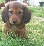 Saucisse, chien Teckel