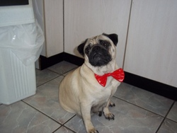 Sauterelle, chien Carlin