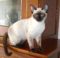 Sauvage, chat Thaï