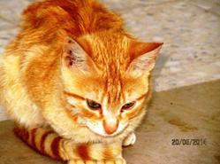 Sauvage, chat Gouttière
