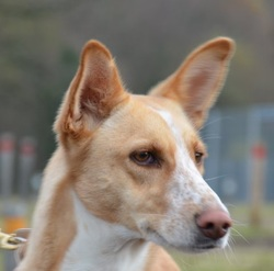 Savana, chien Podenco ibicenco