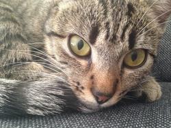 Savanah, chat Gouttière