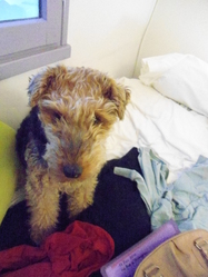 Savane, chien Welsh Terrier
